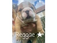 Gorgeous Old English Bulldog Pups For Sale