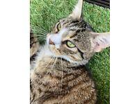 MISSING / LOST TABBY CAT