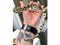 Baby male vanilla pastel royal python