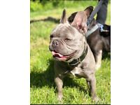 French Bulldog Blue Male Puppies
