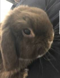 Male Mini Lop Rabbit