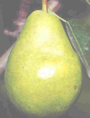 Bartlett Pear Tree Class Heirloom Fruit Tree Great Fruit And Deer Food Plot Too