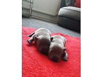 Puppies Blue Staffordshire Bull Terrier