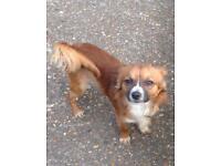 Chihuahua full breed
