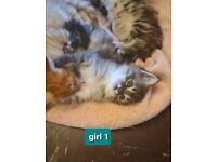 Maine Coon kittens/ 3/4 maine coon/ Maine Coon x
