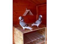 Capuchine pigeons