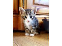 Kitten 8 week old