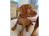 Male Hungarian wire haired vizlas pup available
