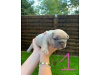 French Bulldog Blue / Fawn / Lilac Puppies