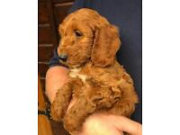 Deep red f1 Cockapoo puppy one girl left