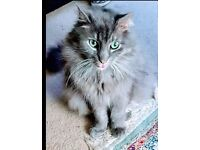 Missing blue Norwegian forest cat