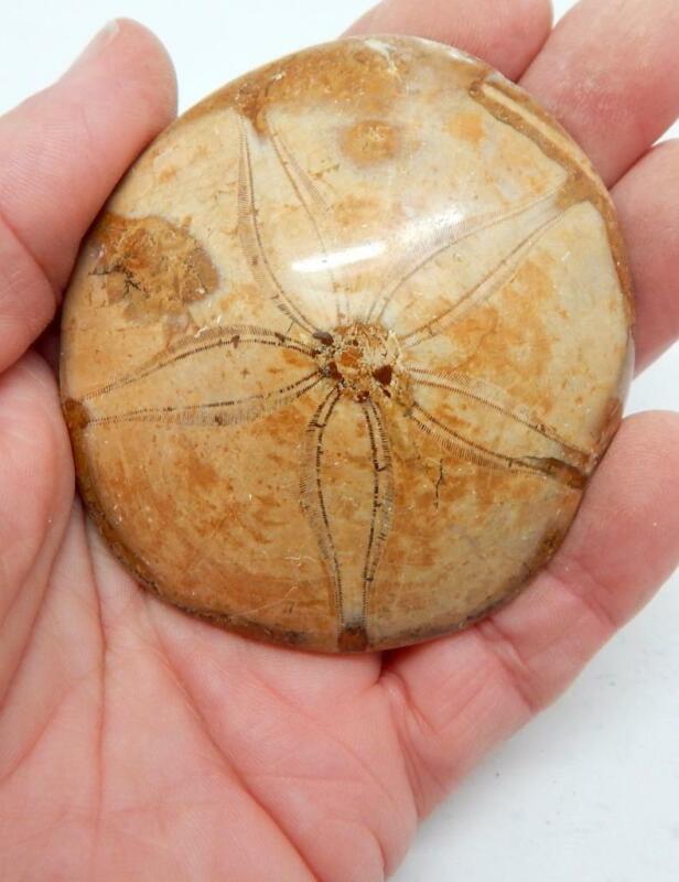 "Large Fossilized Sea Urchin Sand Dollar Jurassic Age 3"" H111"
