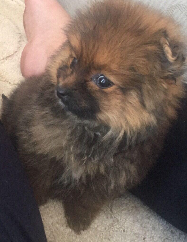 Pomeranian 2 Girls 1 Boy