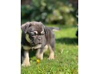 Stunning french bulldog x pug puppies