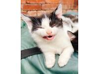 **Last Kitten Ready For Their Forever Home.