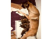Pups for sale 3boys 2 girls