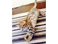 Kitten Bengal X READY NOW