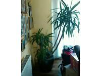 6 ft Yucca Plant