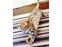 Bengal cross boy....ready now due to time waster