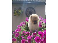 Very small Pomeranian boy