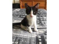 8week old female kitten