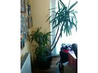 Large Indoor Plant
