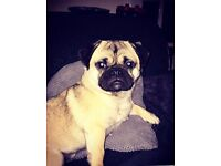 6 month old pug for sale
