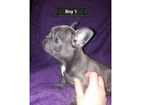 **ABSOLUTELY STUNNING FRENCH BULLDOG PUPPIES ONLY 2 BOYS LEFT**