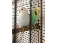 Two extremely cute budgies for sale