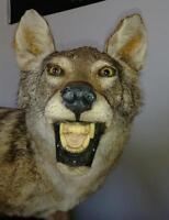 Beautiful Taxidermy coyote full mount!!