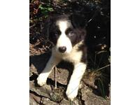 Gorgeous Long Haired Black and White Border Collie Puppy GIRL Pup