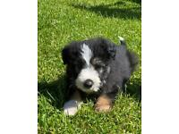 Bearded Collie Puppies