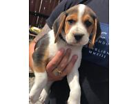 Beagle Puppies KC