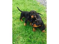 Mini pra clear dachshunds
