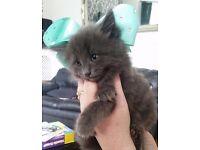 Beautiful kittens maincoon x British blue