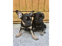 REDUCED REDUCED £750 2 BLACK AND TAN BOYS
