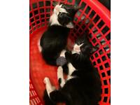 Kittens for Sale! - 9 weeks old