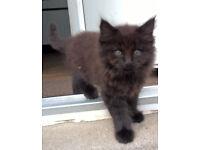 Fluffy Male kitten 10 weeks old dark brown