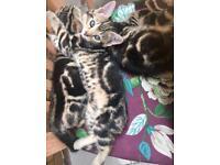Beautiful Pure Bengal Marble Kittens - 11 weeks old