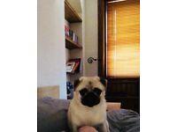 KC Reg 1 year old PUG dog needs new home