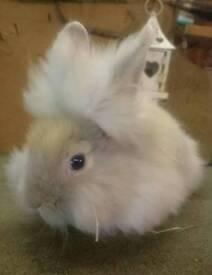 Sooty Fawn Fluffy Lionhead Buck/Boy Bunny