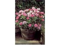 rhododendron outdoor plant