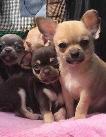 Chihuahua choc and Tan