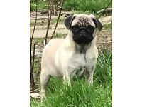 Beautiful pug bitch puppy for sale