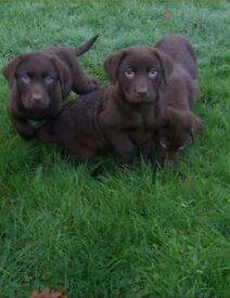 3 gorgeous female pure bread chocolate labrador puppies for sale.