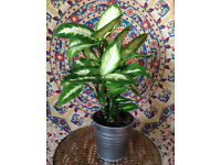 Big Flourishing Dieffenbachia Plant in Metal Pot