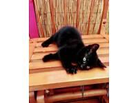 Fluffy black kitten ! Male, needs new home!