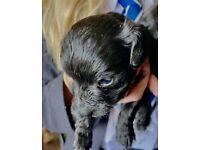 Cockapoo x Mini Yorkie (Corkiepoos) puppies for sale