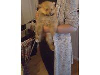 Beautiful Tiny Female teddybear pomeranian Puppie for sale