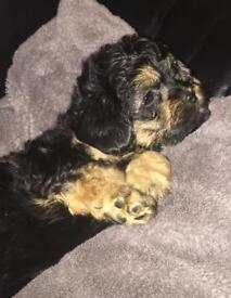 Rare coloured Lhasa Apso x Toy Poodle pups for sale.